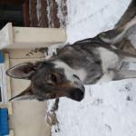 Lupo Leo - Maschio ( (1 anno))