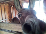 Asino Bo Donkey - Maschio ( (13 anni))