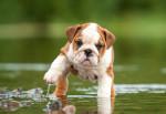Un chiot English Bulldog marche d'un pas mal assuré dans l'eau