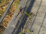 Iguana Boby - ()