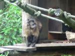 Scimmia capucin - ()