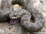 Serpente Couleuvre - Maschio ( (1 anno))