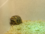 Tartaruga Phoebe - ()